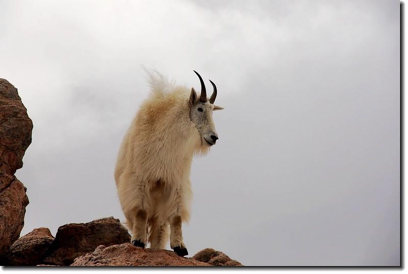 Mountain goats 4