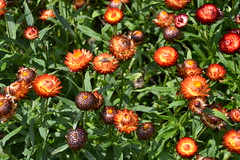 Strawflower 'Bikini Hot Red'