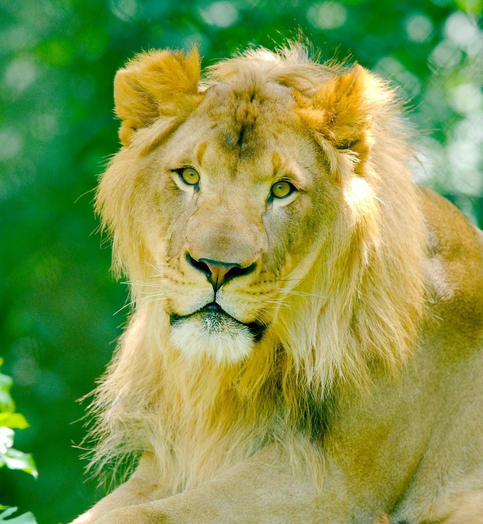 Lion_6