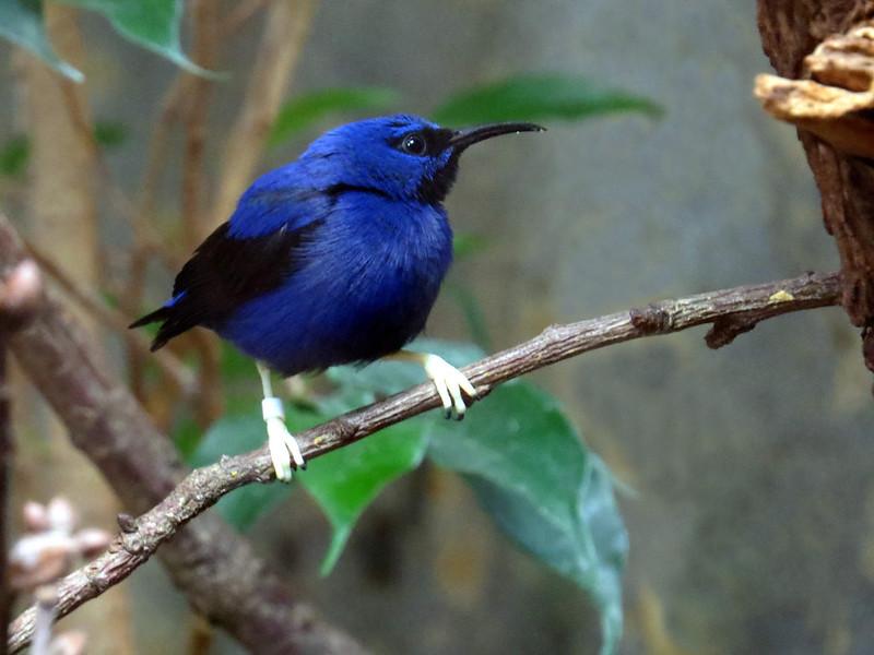 Purple honeycreeper Tanagra medsiurbė purpurinė