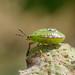 Southern Green Shieldbug (Nezara viridula) Ann Miles