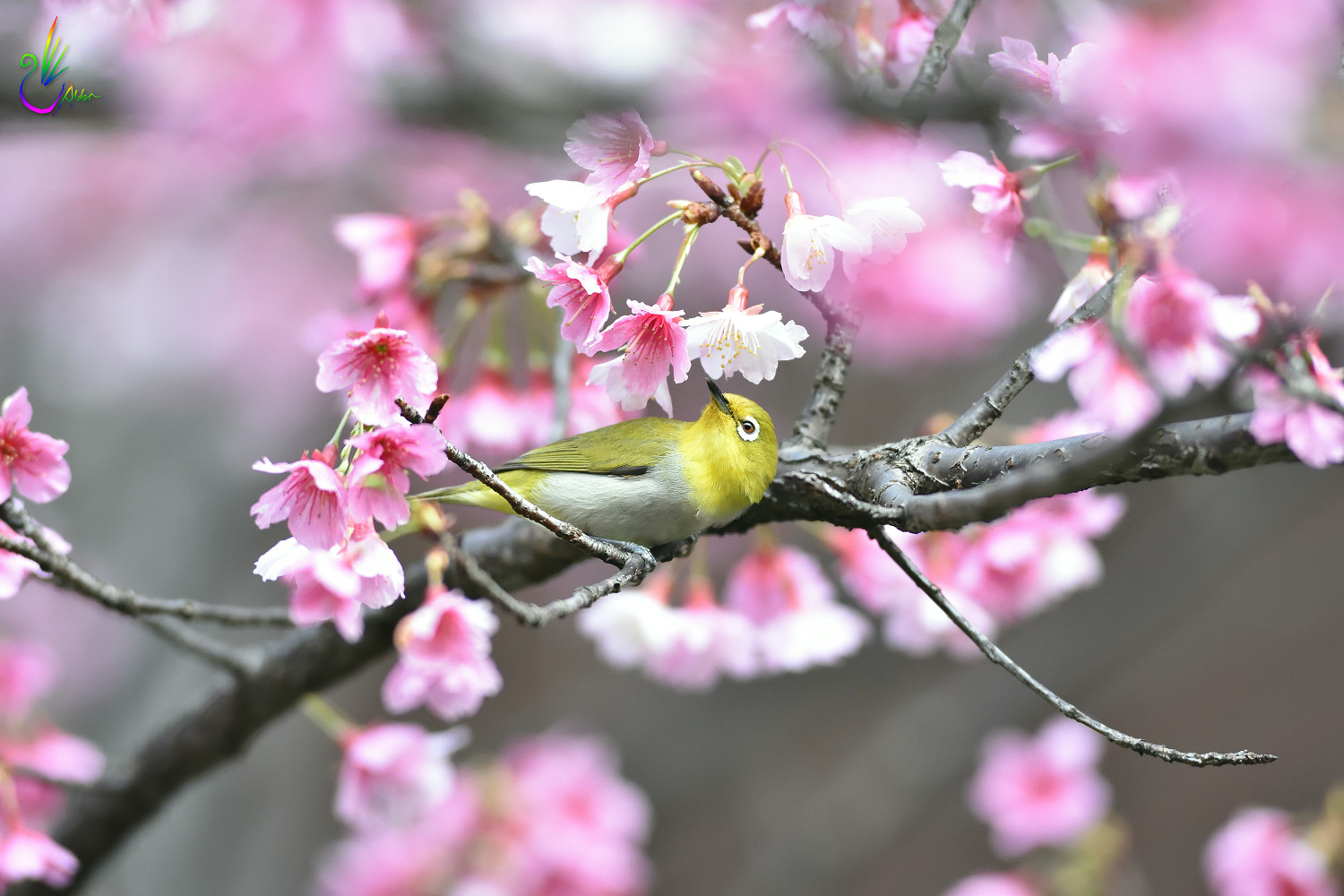 Sakura_White-eye_5053