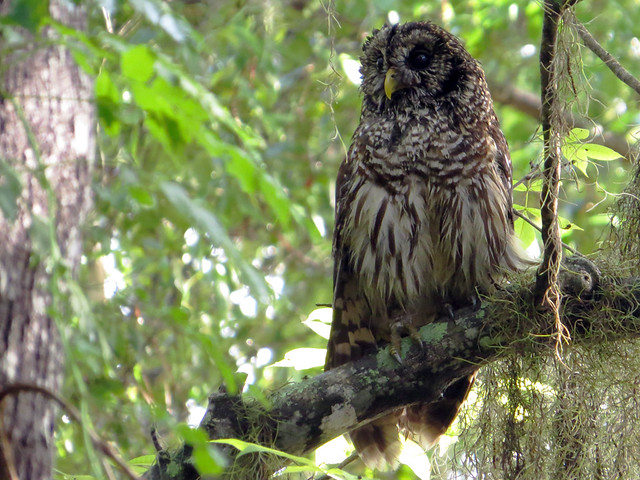 Wet Barred Owl