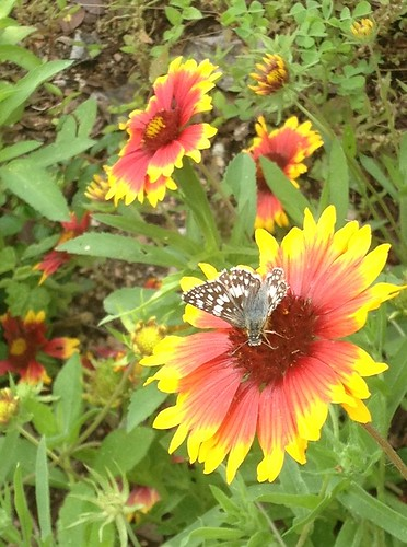 Indian Blanket with Butterfly
