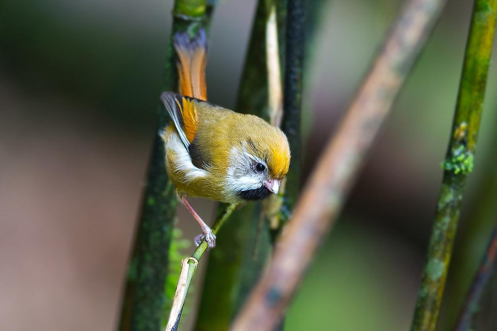黃羽鸚嘴-4216