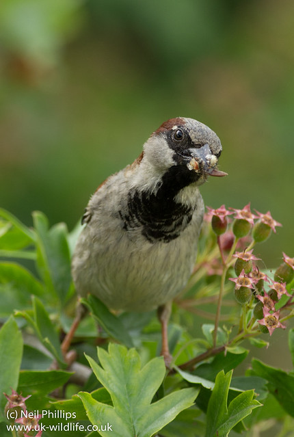male house sparrow with food
