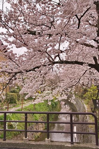 【写真】2013 桜 : 哲学の道/2018-12-24/IMGP9215
