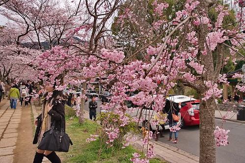【写真】2013 桜 : 哲学の道/2018-12-24/IMGP9256