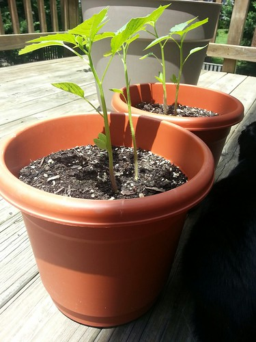 tomatillos 7-4