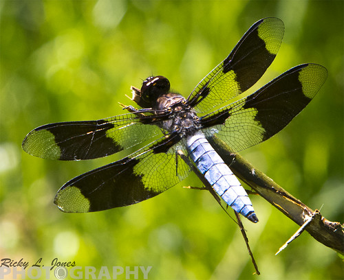 Common White Tail Dragonfly-small by Ricky L. Jones Photography