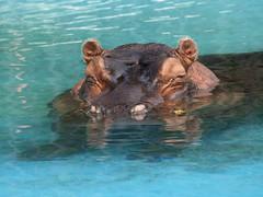 Hippo 08-28-2008 1