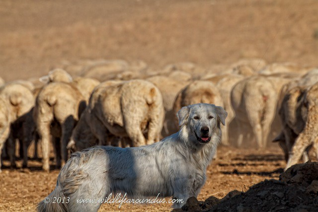 Maremma Sheepdog on lookout