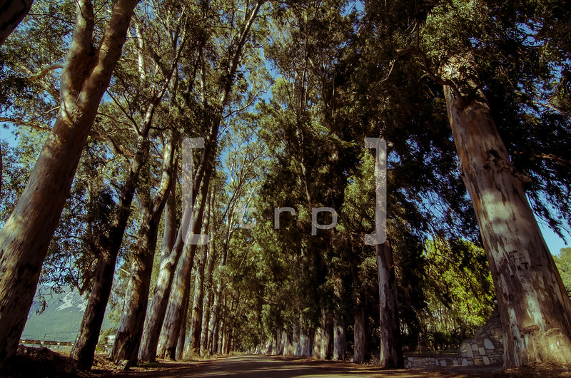 You feel small under the canopy of eucalyptus trees surrounding this nostalgic road.