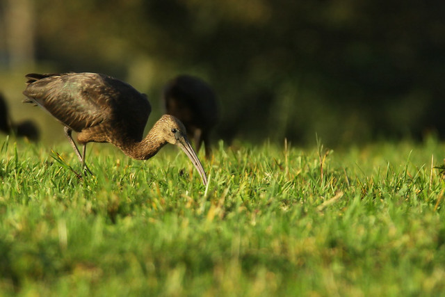 Glossy Ibis- In Golden Light