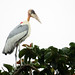 Small photo of Greater adjutant stork
