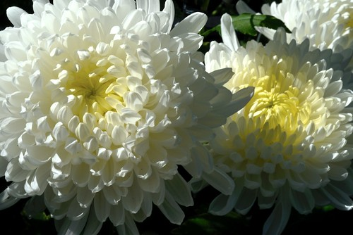 Chrysanthemum Beauty