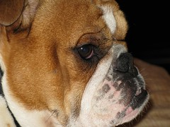 dog breed, nose, animal, dog, old english bulldog, british bulldogs, pet, olde english bulldogge, snout, australian bulldog, toy bulldog, american bulldog, carnivoran, bulldog,