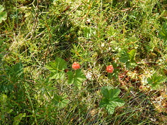 evergreen, shrub, berry, leaf, tree, plant, flora, green, forest, natural environment, meadow, vegetation, cloudberry,