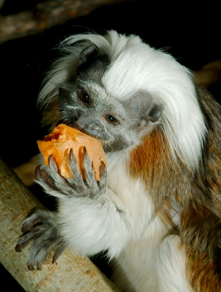 Cotton-top Tamarin (Saguinus oedipus)_15