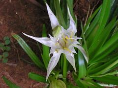 erythronium(0.0), dendrobium(0.0), lily(1.0), hymenocallis(1.0), flower(1.0), hymenocallis littoralis(1.0), plant(1.0), flora(1.0),