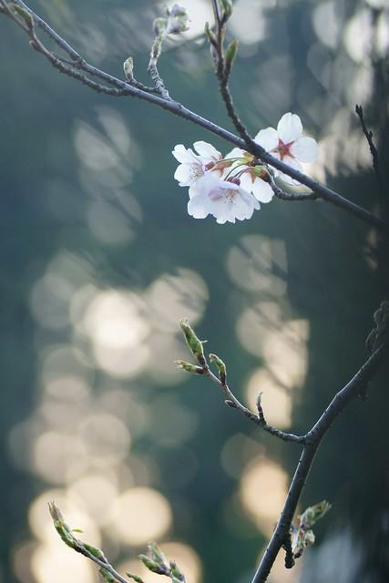 写真_細桜