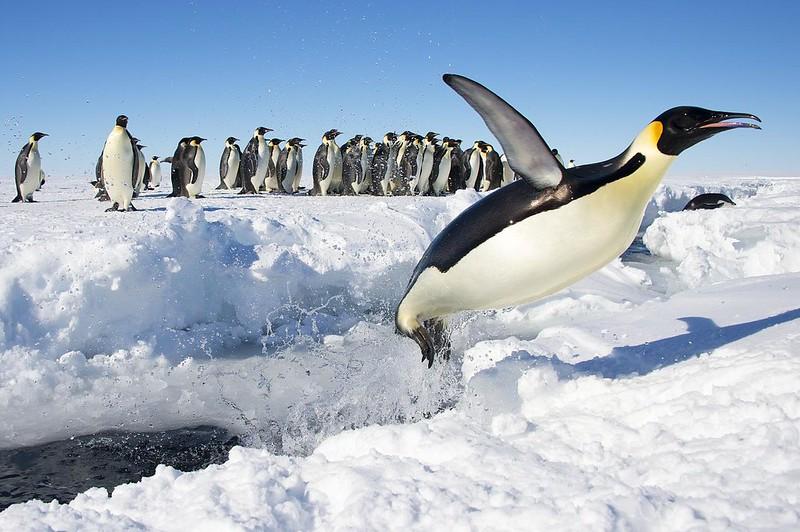 Emperor Penguin jumping!