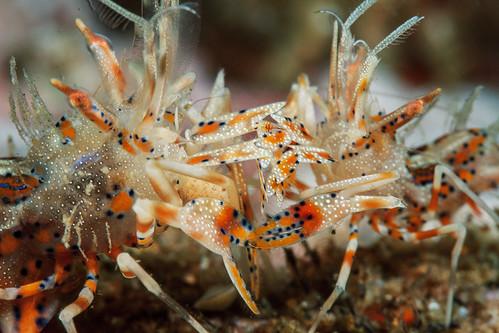 Spiny tiger shrimp duel