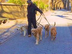Dog walker on Fifth Avenue