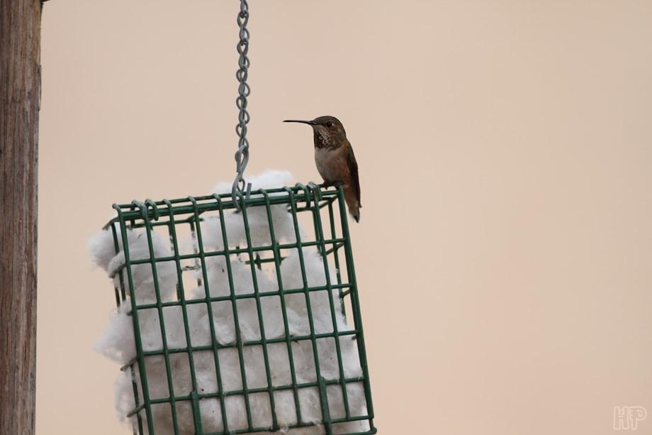 Allens Hummingbird 012414-2