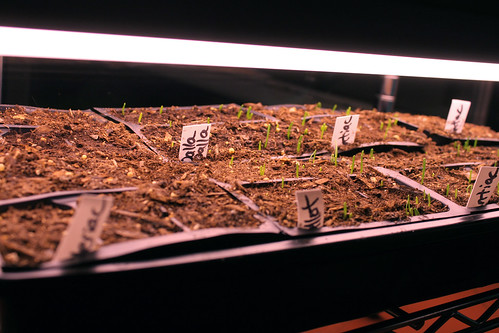 onion sprouts 163