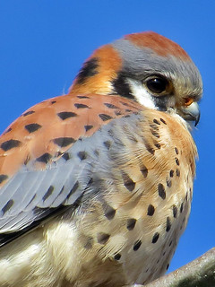 Kestrel_glance