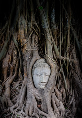 Head of Sandstone Buddha overgrown by Banyan Tree, Ayutthaya historical park, Thailand.
