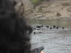 Sea Otters, Elkhorn Slough IMG_0032_3