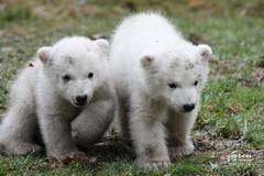 The Polar Bear TWIN's Cinema