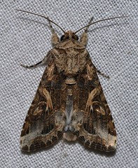 # 9669 – Spodoptera ornithogalli – Yellow-striped Armyworm Moth