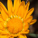 Huge flower : Gazania Gazoo! by Apricot Cafe