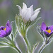 three pasque flowers by Dave.j.m.