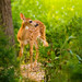 Fawn at Three Weeks (Explored) by sepics2