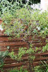 Enzianstrauch (Solanum)