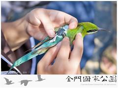 2015栗喉蜂虎繫放-03(