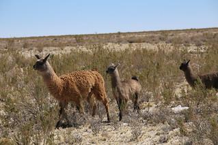 Vicuña.  Bolivia.