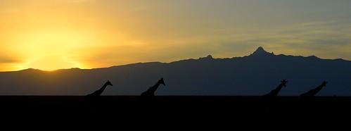 africa sunrise mt kenya giraffes sweetwater nikond4 dianarobinson