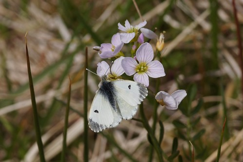 Orange Tip (female) on Cuckooflower