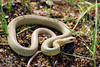 Watch Your Step - Eastern Yellow-bellied Racer
