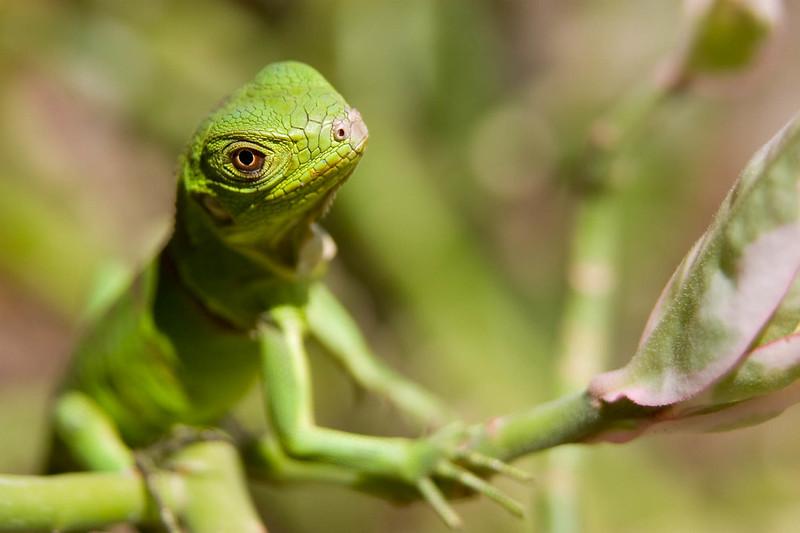 Baby iguana 2