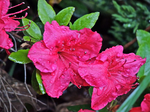 Azalea, Drenched ...........(149/365) by Irene_A_