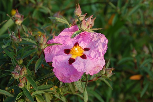 First cistus flower 2013