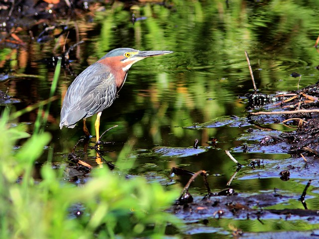 Green Heron at puddle 20130601