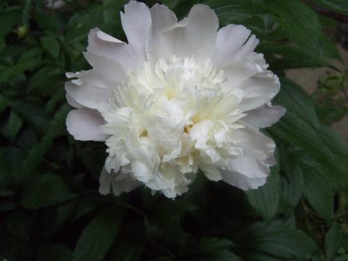 white peonies begin to bloom by Emilyannamarie