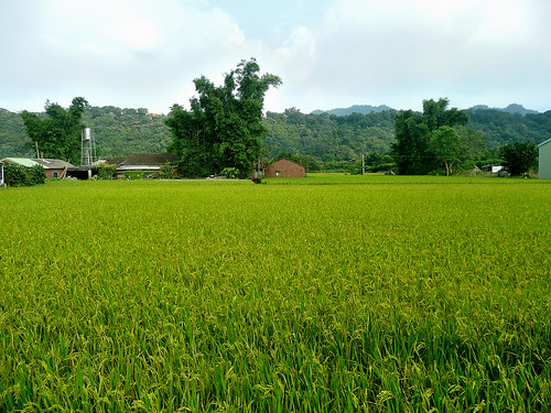 Rice Paddies on Road 4